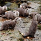 Asian Short-Clawed Otters.