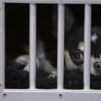 A smooth coat Chihuahua waits in his cage (AP Photo/Mary Altaffer)