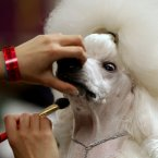 We could be wrong, but this looks like someone is putting makeup on a dog. (AP Photo/Craig Ruttle)