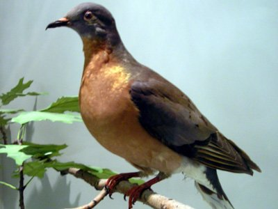 passenger-pigeon-extinct-since-1914