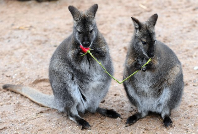 Valentine's treats for animals