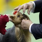 A Yorkshire terrier is judged with the toy group (AP Photo/Frank Franklin II)