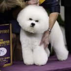 Honor, a Bichon Frise, and winner of the non-sporting group, is held by handler Lisa Betti (AP Photo/Frank Franklin II)