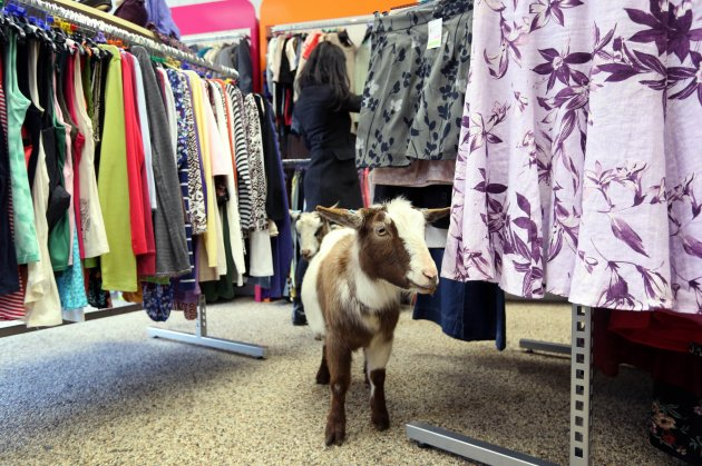 Goats in Age UK store