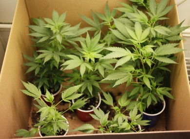 File image of cannabis plants.
