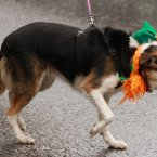 A dog with an Irish collar at the St Patrick's day parade and festival in Trafalgar Square, London.