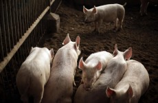 China pig farm 'pumped dissolved carcasses into river'